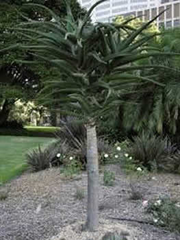 Syzygium moorei care transplanters sunshine coast for Garden trees adelaide