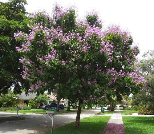 Enb150 2014s Lah blogspot in addition I Think That I Shall Never See Poem additionally Windmill Palm moreover Coastal Plains in addition 177 Lagerstroemia Speciosa. on magnolia trees in south texas