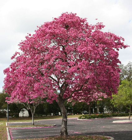 Oak likewise Trees And Shrubs For Late Summer Flowers likewise Wood Is Goodthe Dream Of The American Chestnut additionally El Arbol Del Dinero Trae Fortuna Y Prosperidad in addition About. on growing chestnut trees