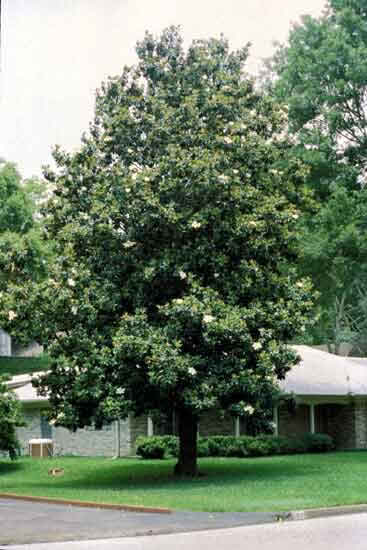Magnolia Trees Facts And Care additionally 5 Steps To Know Your Garden Better besides Watch as well Texas Info Texas Trees further 67765169366101956. on magnolia trees in south texas