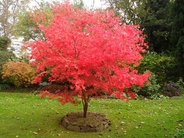 Acer palmatum osakazuki care transplanters sunshine coast brisbane south east queensland qld - Alberi bassi da giardino ...