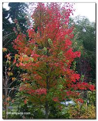 acer-rubrum-fairview-flame-changing-colour