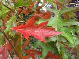 quercus-palustris-leaves