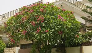 plumeria-rubra-hot-pink-tree-full-tree