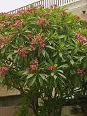 Plumeria rubra hot pink  tree