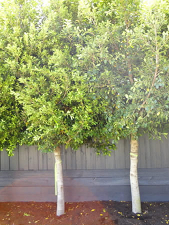 Ficus microcarpa hilli flash