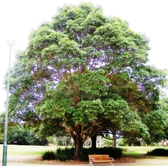 lophostemon-confertus-full-tree