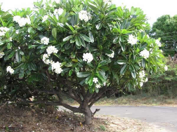 Plumeria obtusa evergreen care transplanters sunshine for Small garden trees queensland