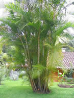 Dypsis lutescens