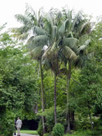 Howea forsteriana